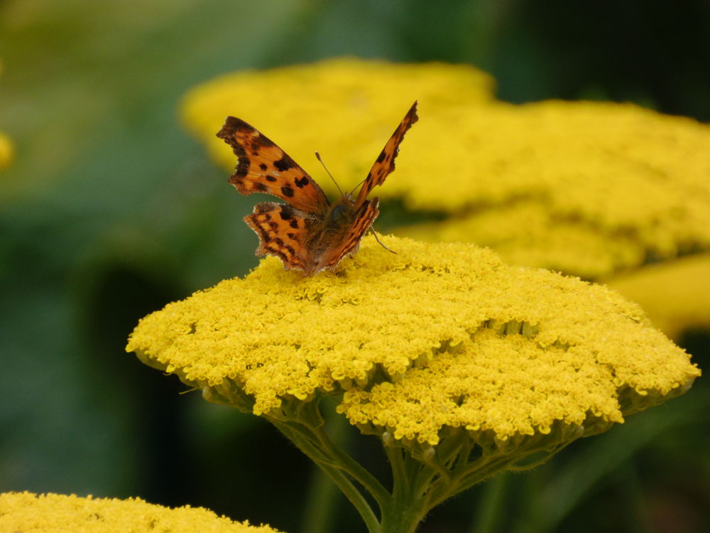 Yellow Flower with Butterfly by Sven Herkenrath