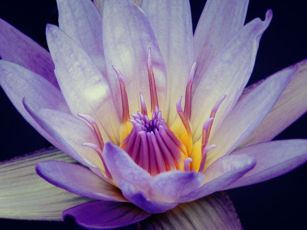 Blue Lotus Flower by Sven Herkenrath