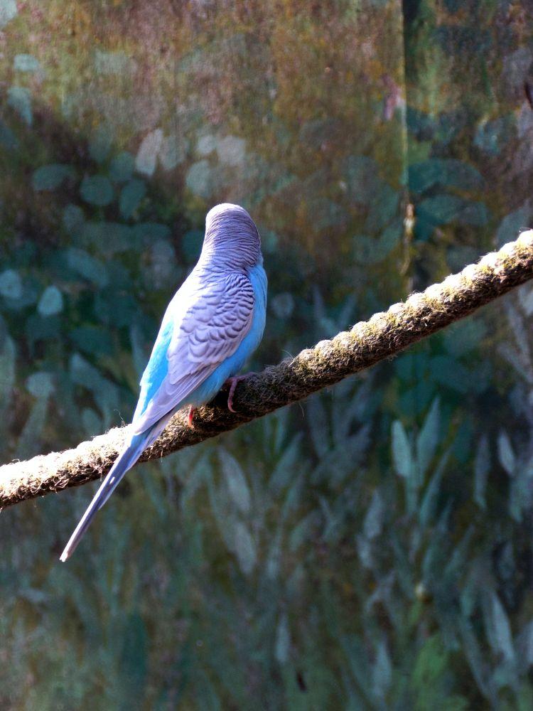 Photo in Animal #bird  parrot  budgie  anima