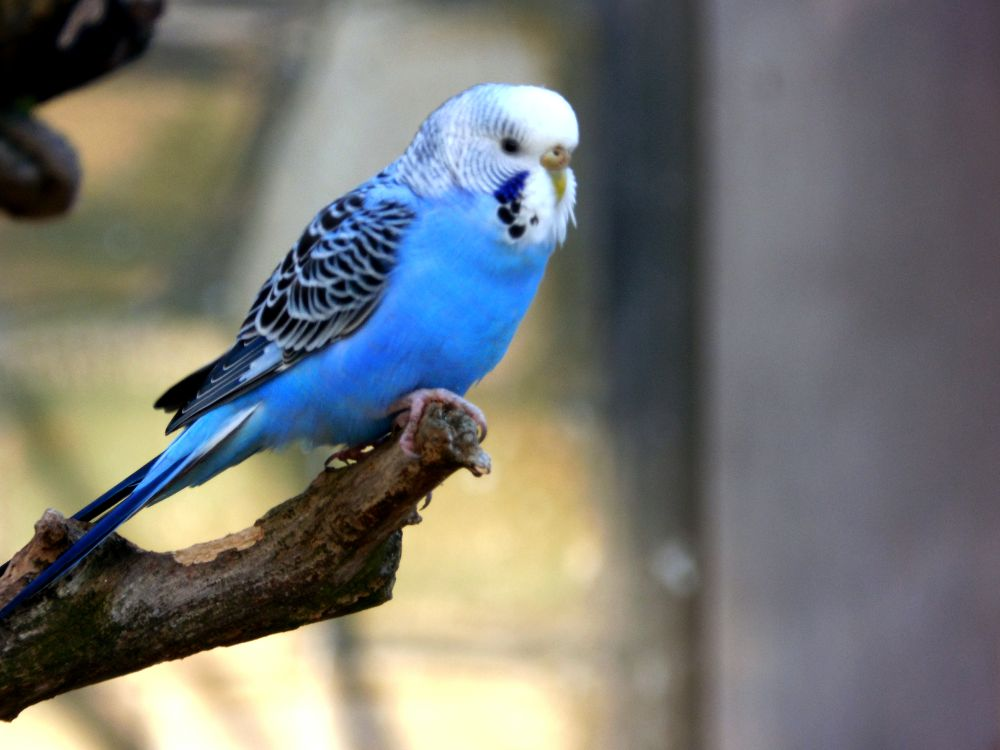 Blue Budgie by Sven Herkenrath