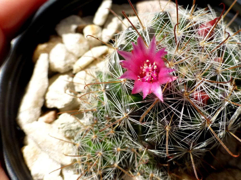 Flor de Cactus, chiquita  y hermosa . by marisabelcaferri