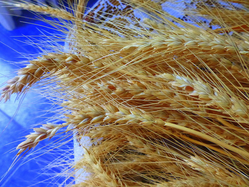 Espigas de trigo , abundancia para el 2014 para mis amigos de Youpic ! by marisabelcaferri