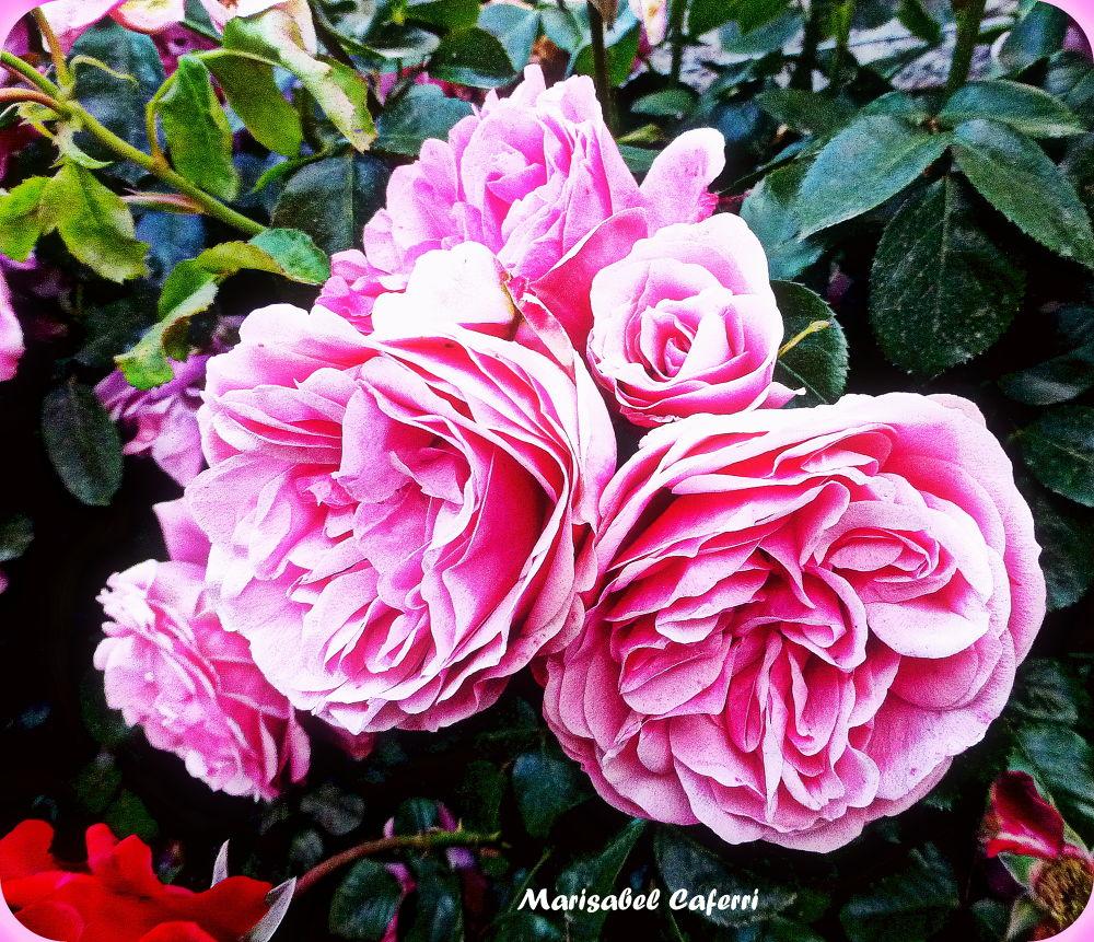 Rosas de Bariloche. by marisabelcaferri