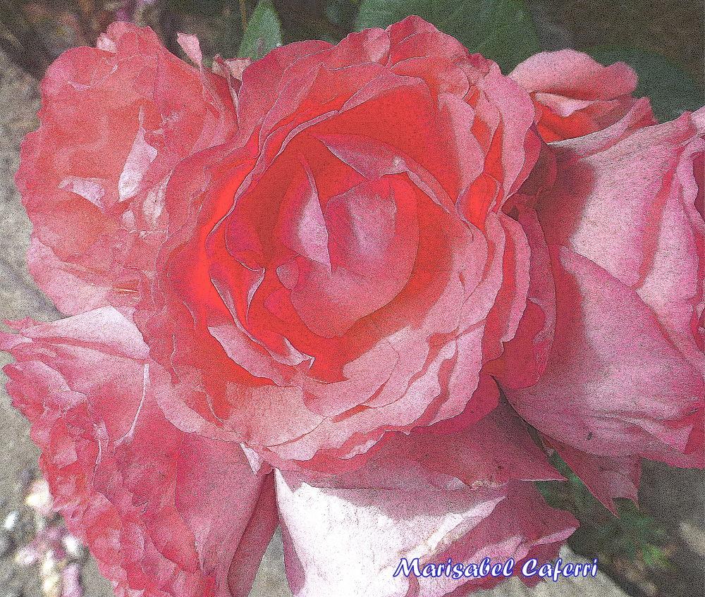 rosas bellisimas de Bariloche by marisabelcaferri