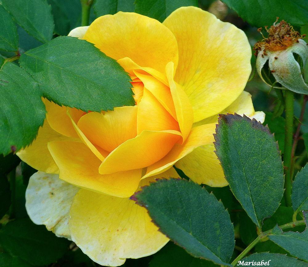 Rosa de otoño , preciosa! by marisabelcaferri