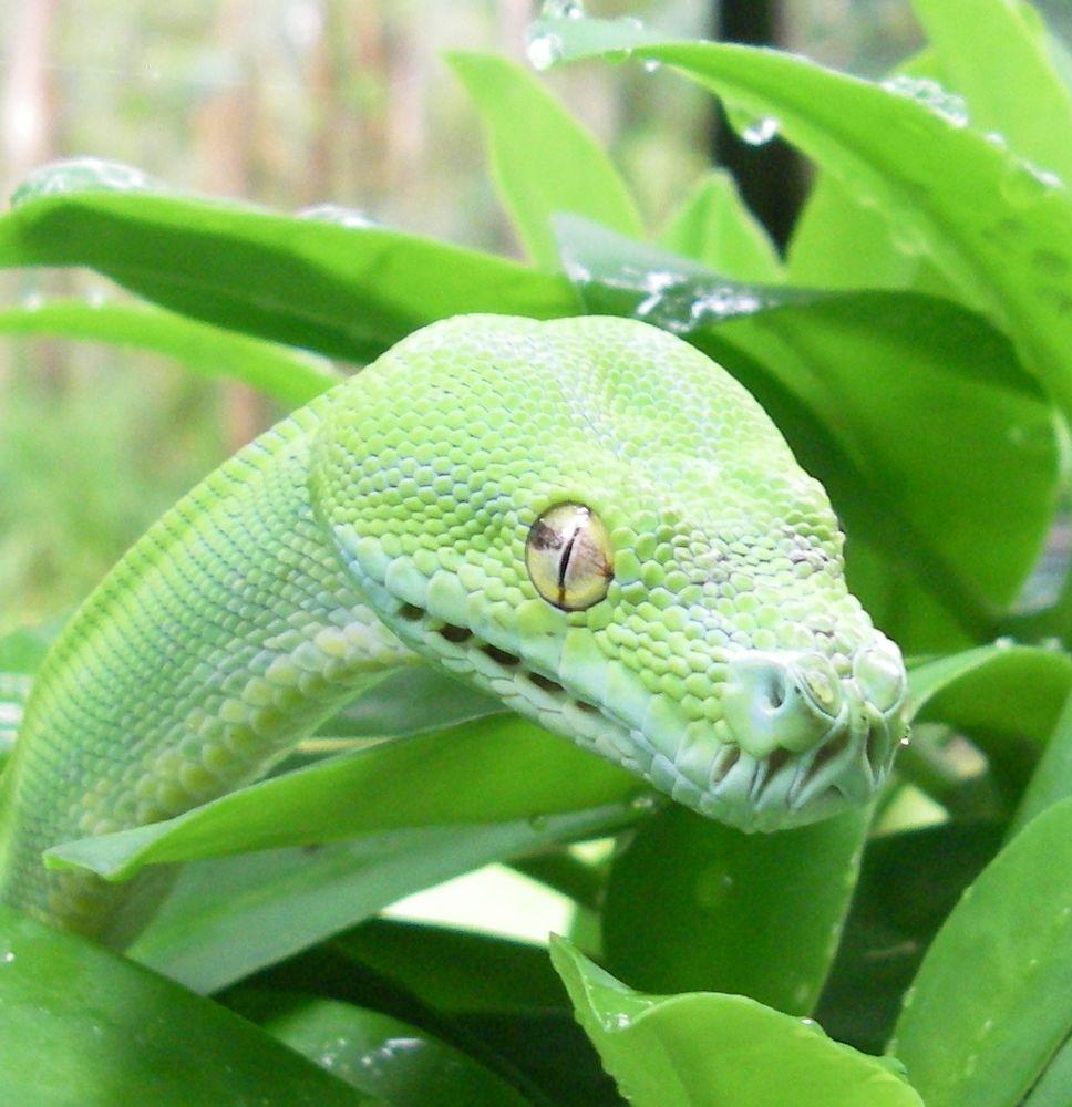 Green tree python (Morelia viridis) by lyallnaylor