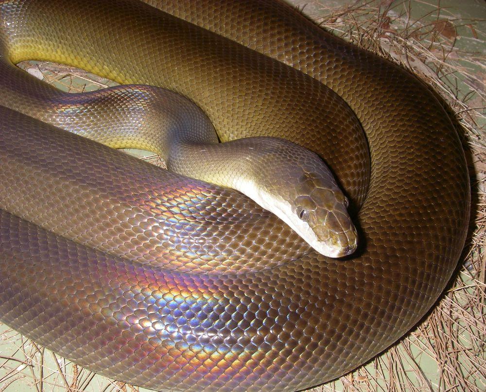 Water python (Liasis mackloti) by lyallnaylor