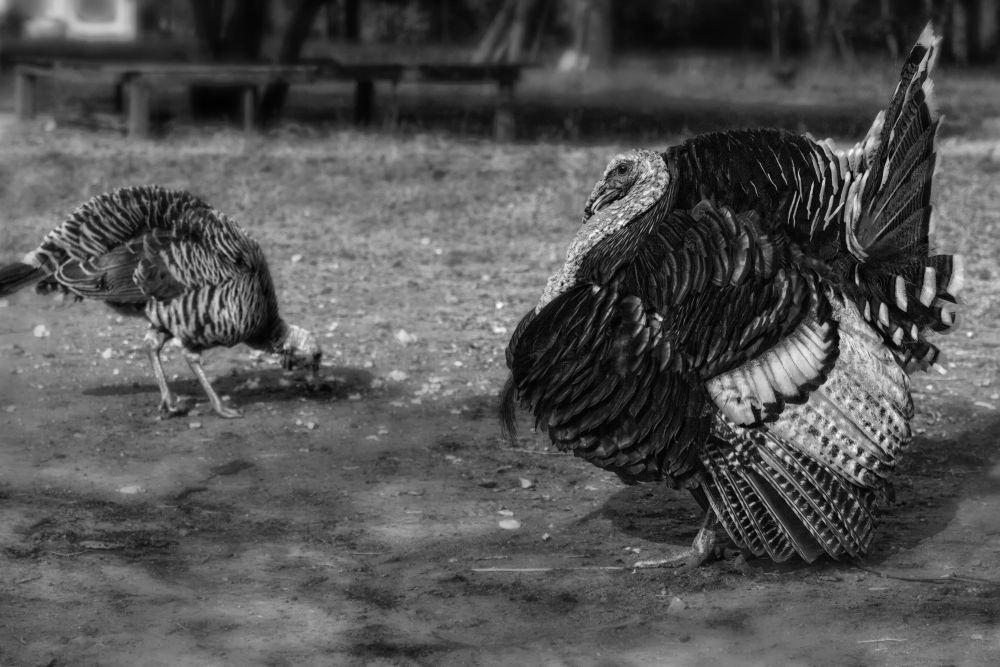 turkey 2 by NiponUngsriprasert