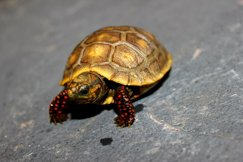 Photo in Animal #red foot tortoise