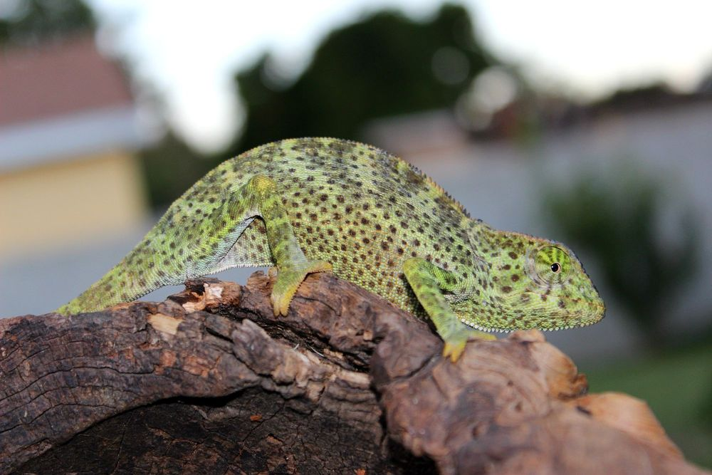 Chameleo gracilis  by tommymunoz5