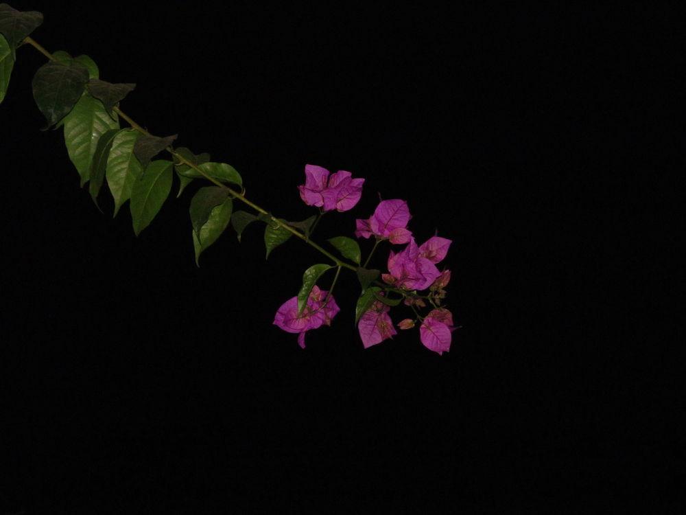 pink on night by Abhik Bhattacharya