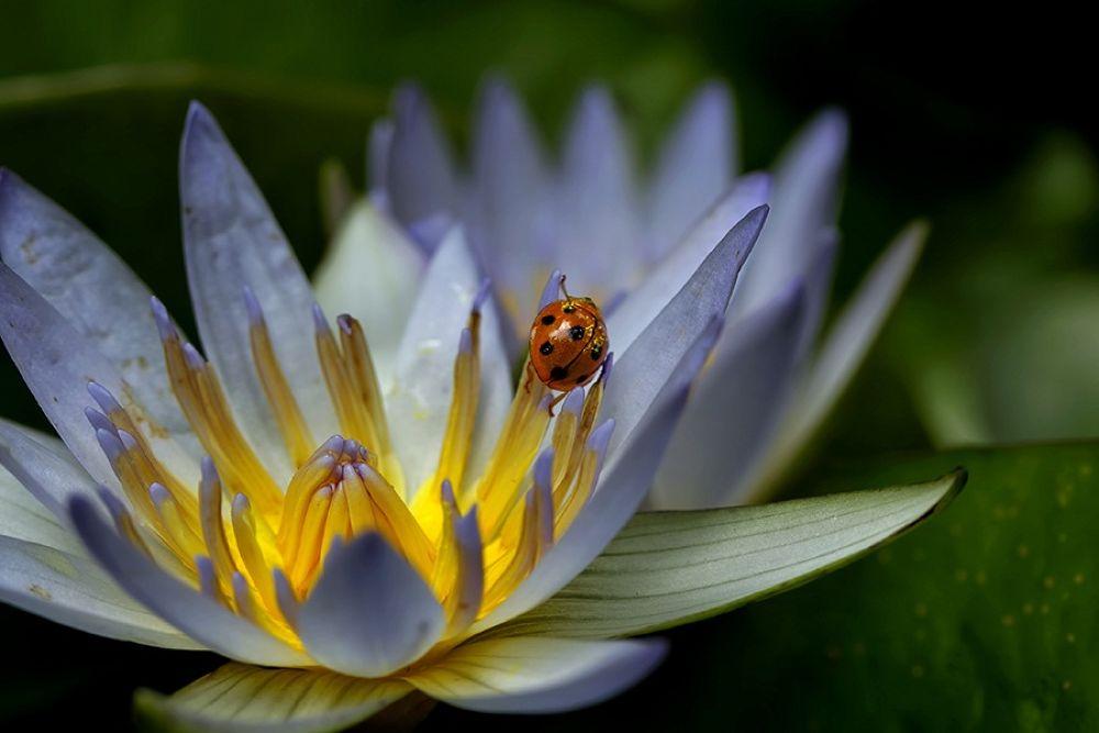 playing lotus by Genta Ariawan