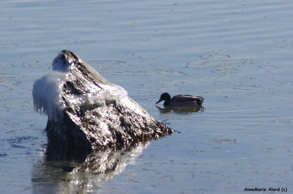 Wild duck by annemariealard