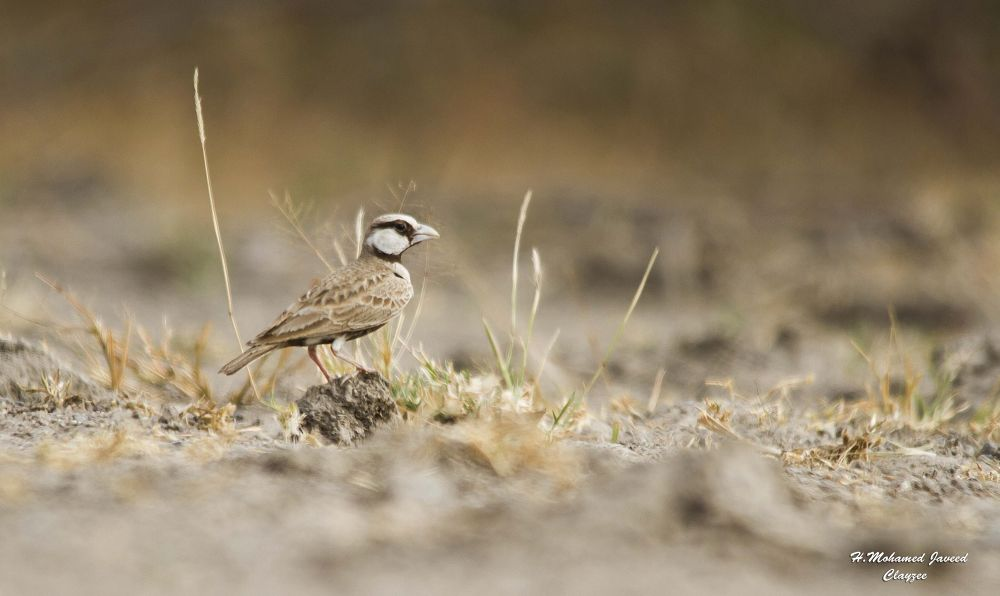 id-ashy crowned sparrow lark canon 7d with sigma 150-500 at karavetti birds sanctuary by hmjaveed09