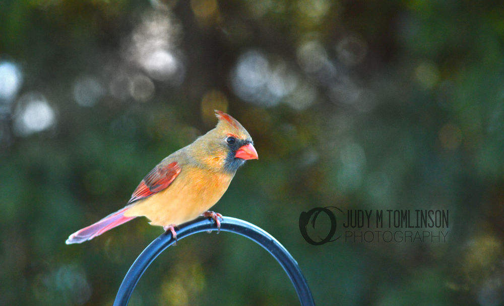 Cardinal sitting for her portrait by judytomlinson1