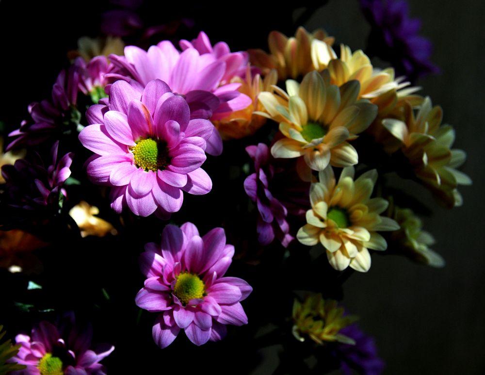 hoa cúc Việt Nam -Vietnam daisies by tuanminhtuan