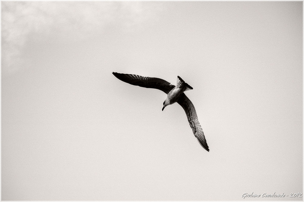 seagull by GiroPhoto - Girolamo Cavalcante