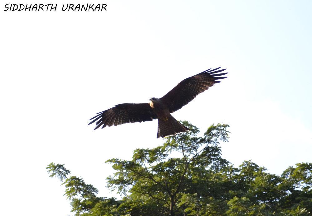 an hawk by Siddharth Urankar