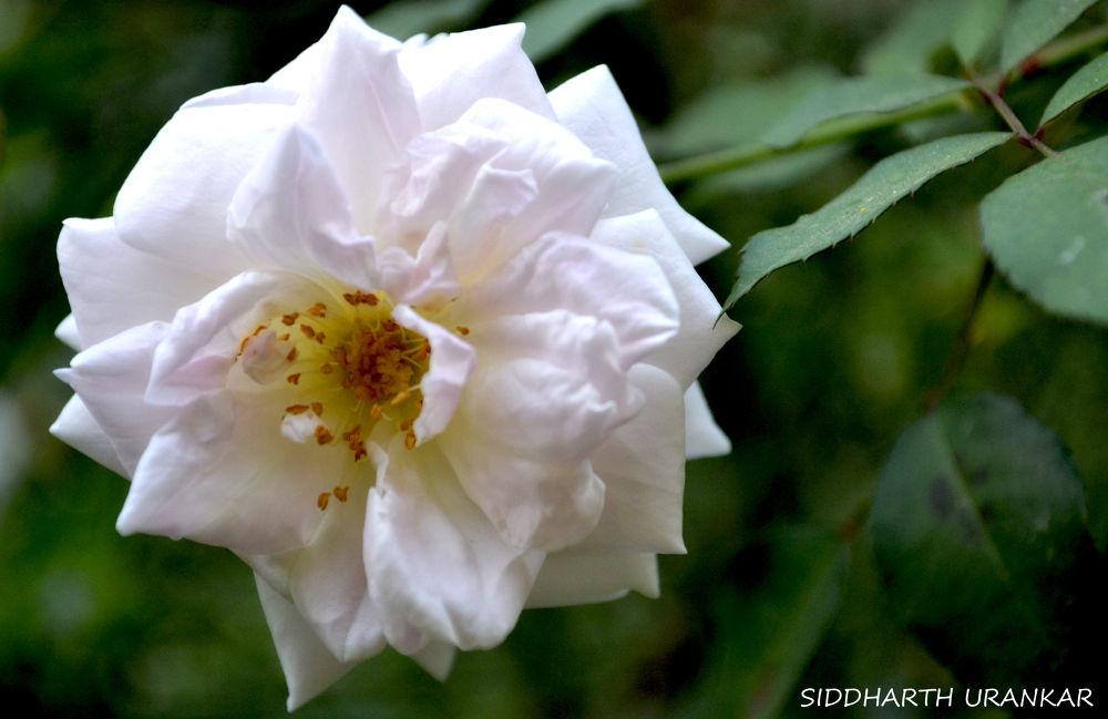 rose by Siddharth Urankar