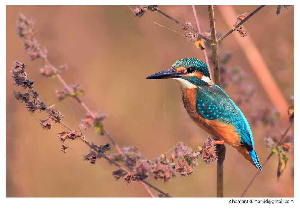 Common Kingfisher  by 360pixual