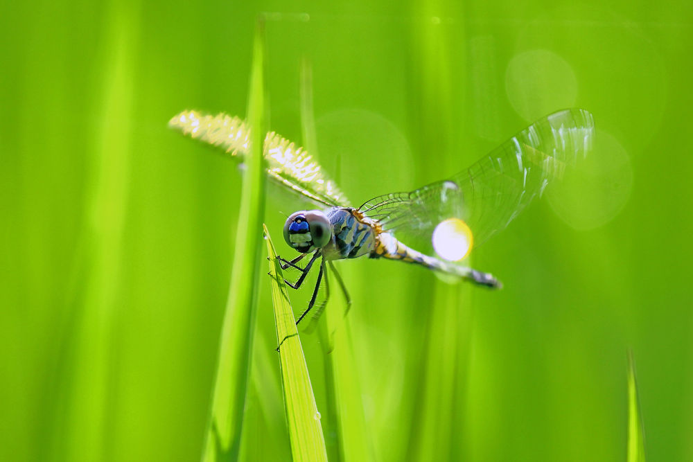 Dragonfly by susilshah