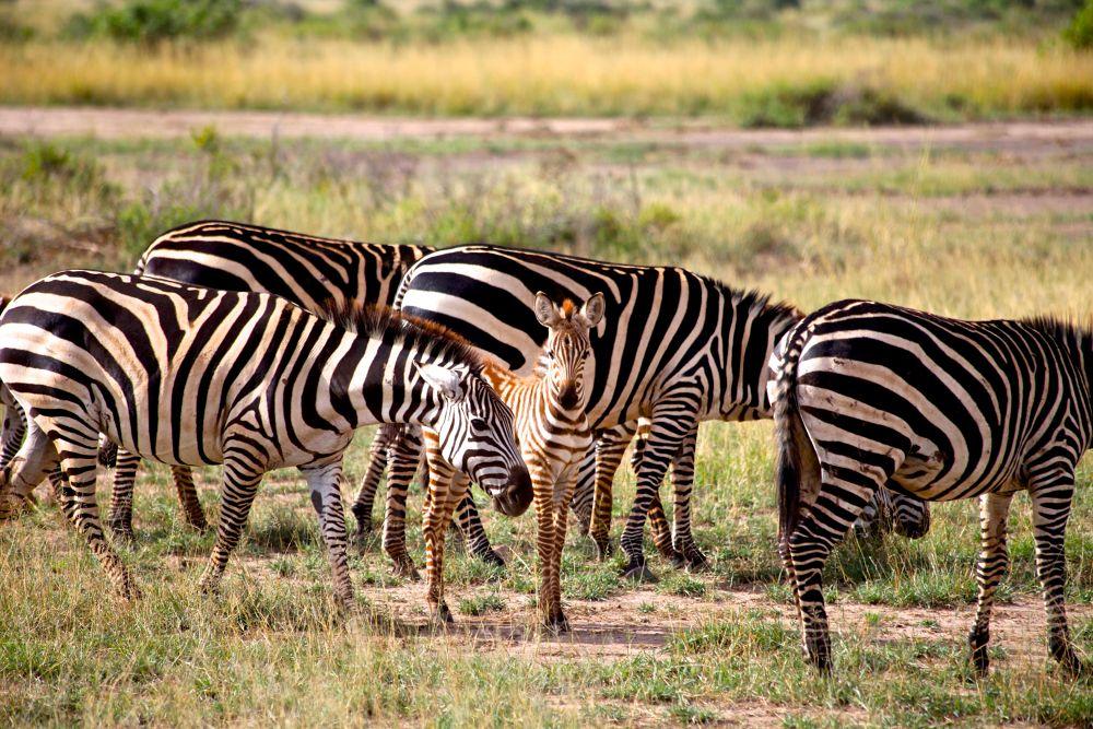 Family of zebras. Kenya. Akmal Usmanov by akmal5825