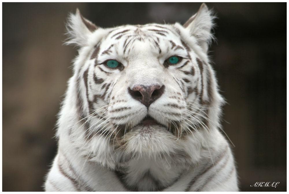 TIGR by akmal5825