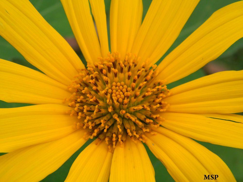 sunflower_by_msayxas-d4u2tek by marileiaseixas