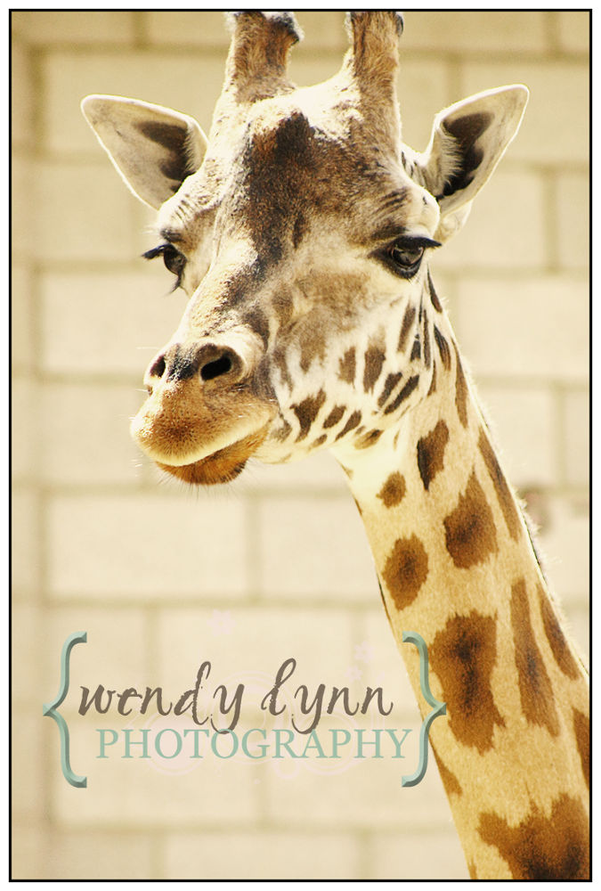 Giraffe at a zoo by Wendy Lynn Photography