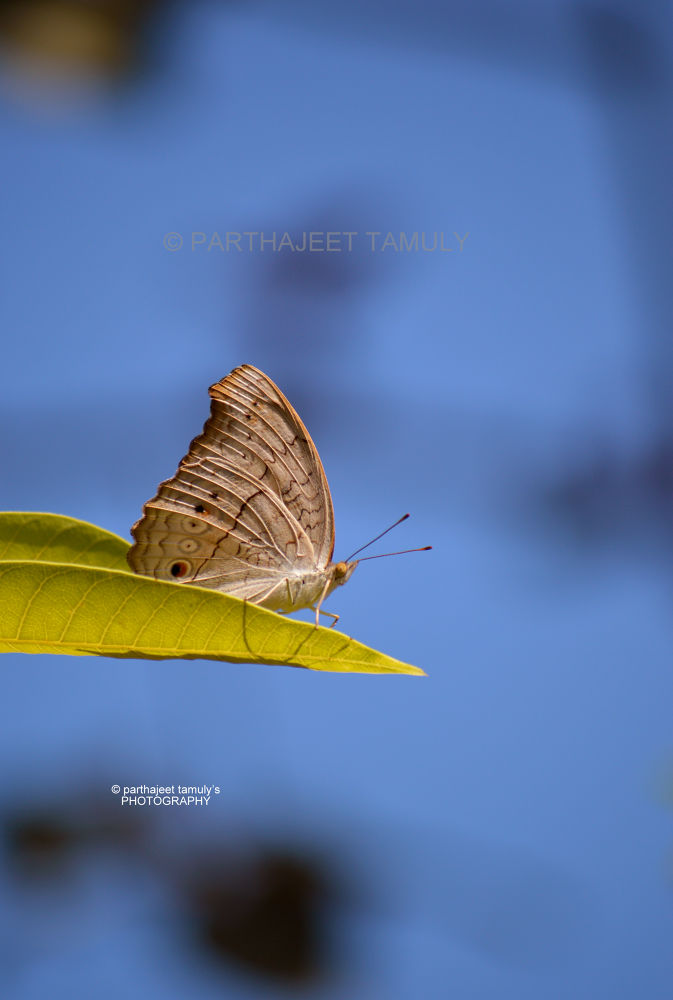 Butterfly shot 2 by parthajeettamuly