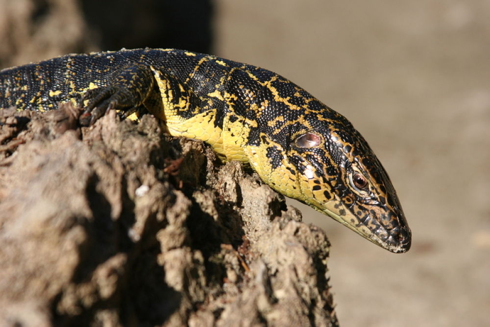 I'm an alligator overo by Ricardo Iniguez