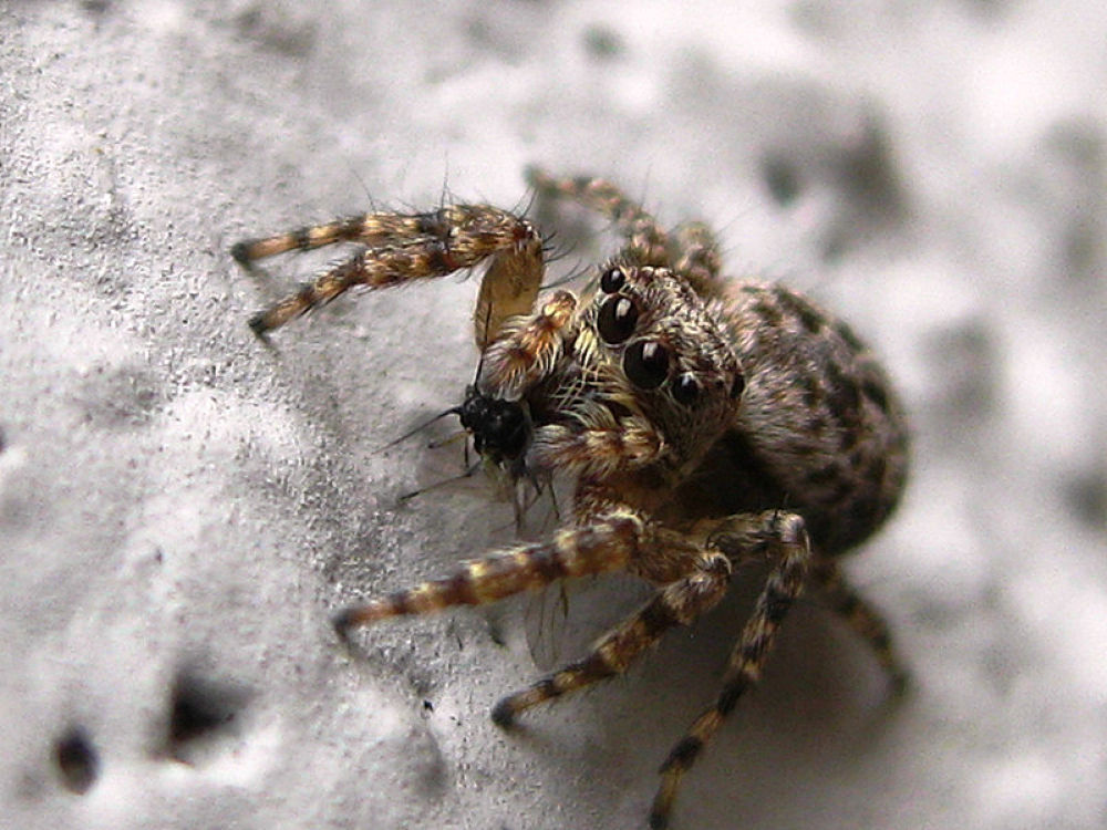 Jumping spider with prey by Ricardo Iniguez
