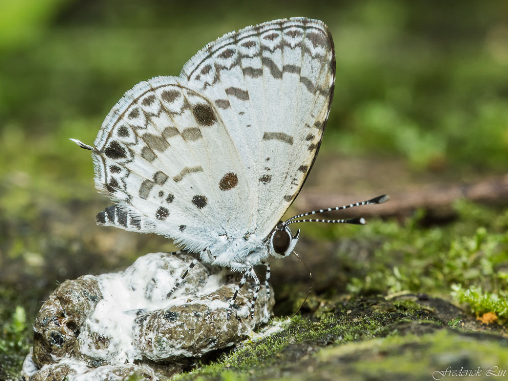 Pale Grass Blue  by Frederick Lin