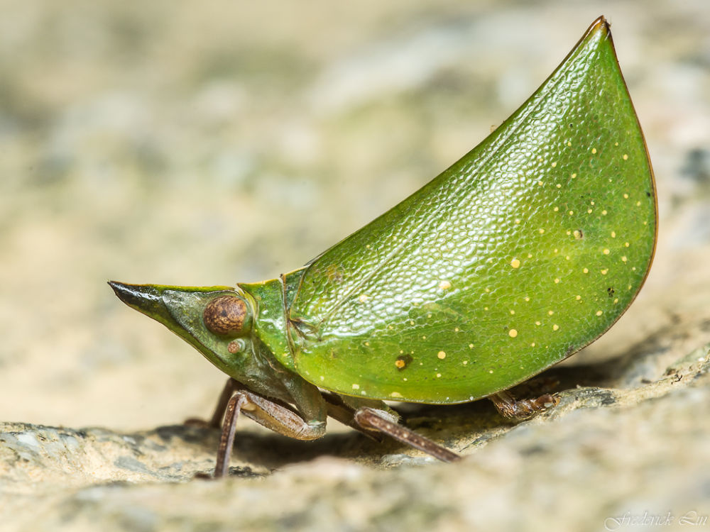 Planthopper - Tonga westwoodi by Frederick Lin
