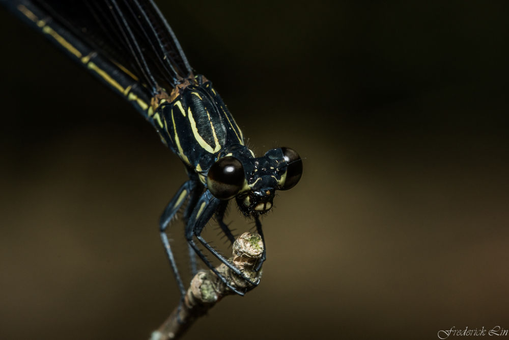 Damesfly - Euphaea formosa by Frederick Lin