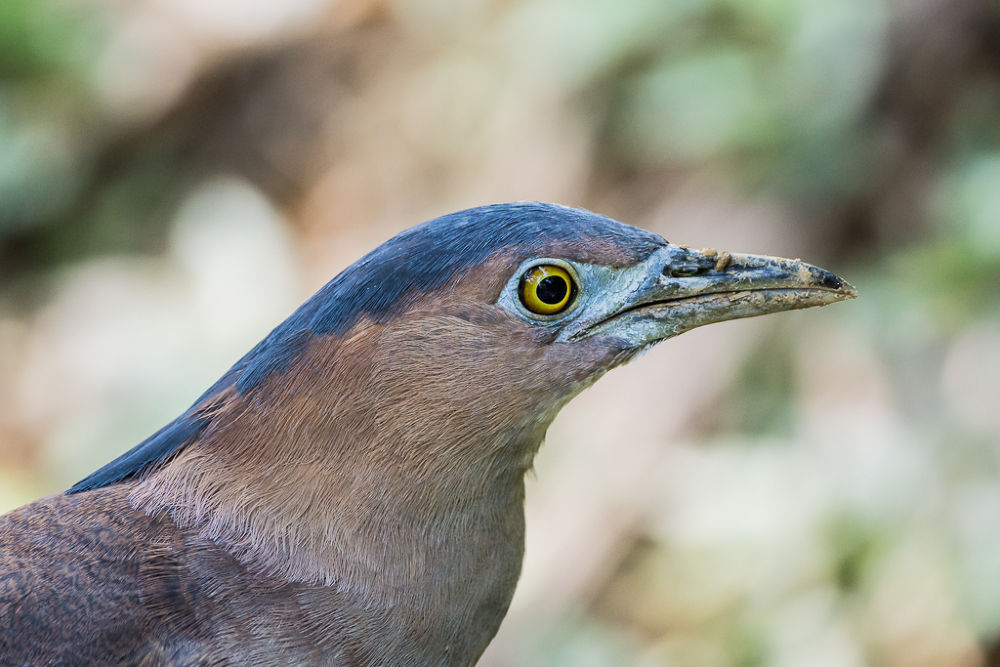 Malay Night Heron by Frederick Lin