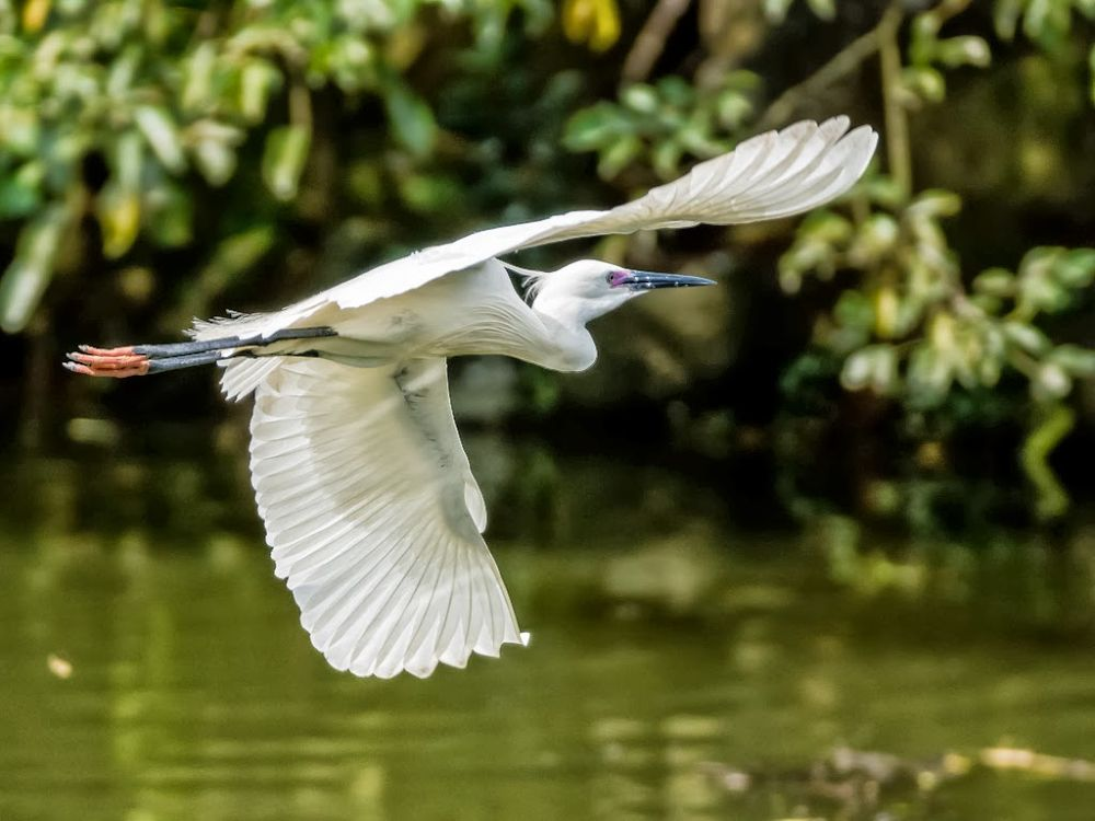 Little Egret by Frederick Lin