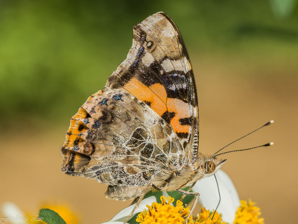 Vanessa indica by Frederick Lin