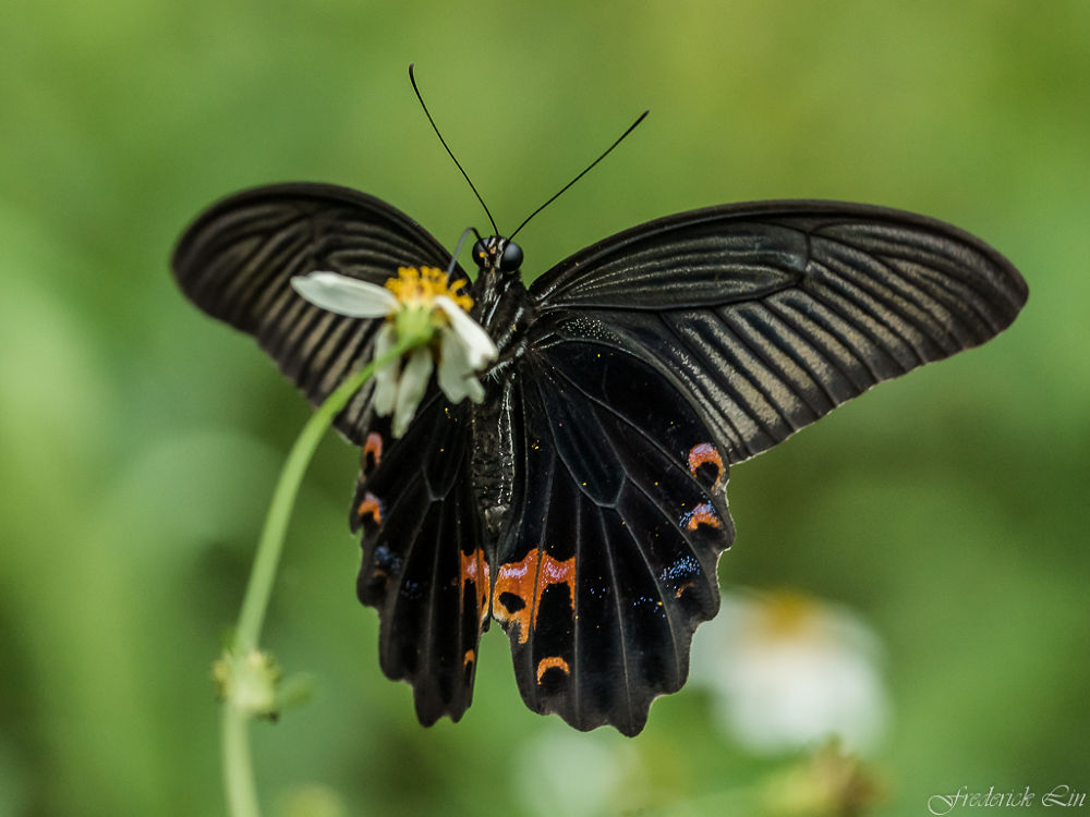 Papilio protenor by Frederick Lin
