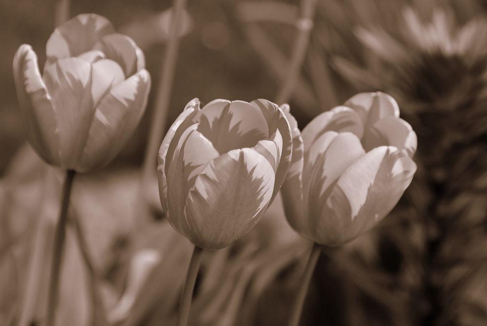 tulpe  by tatjanamijatovi