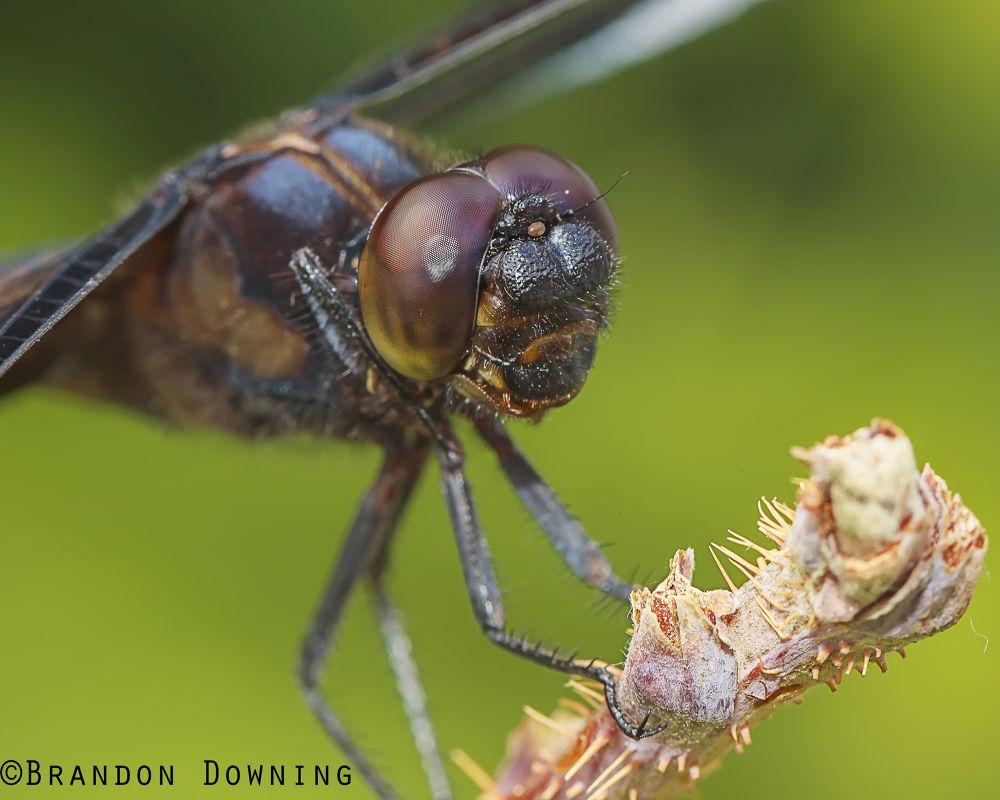 Dragonfly by brandondowning376