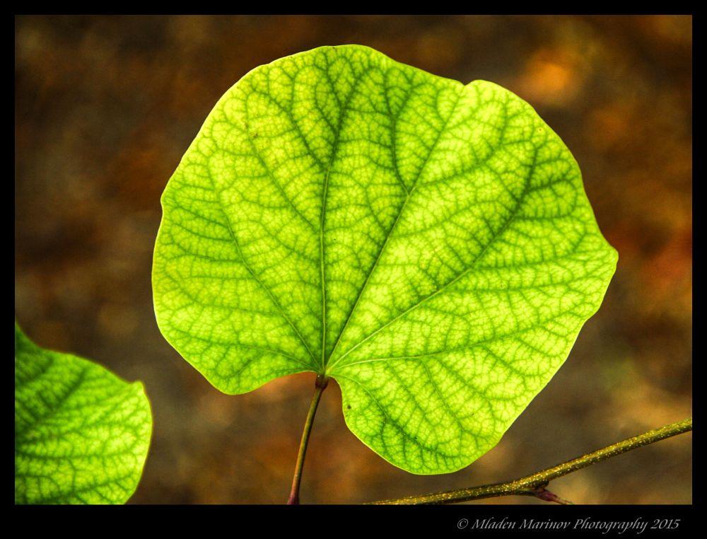 Leaf  by Mladen Marinov (MM)