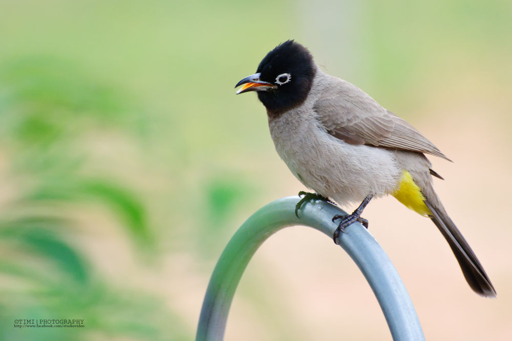 Yellow-vented Bulbul by timiphotography