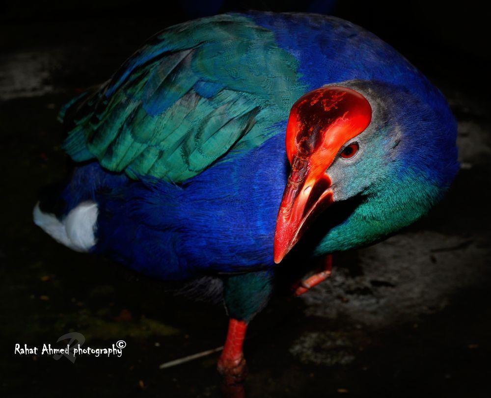 Purpel Moorhen. by Rahat Ahmed