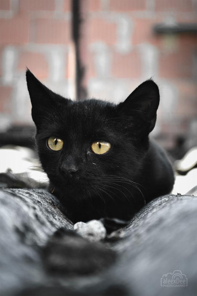 Black Cat hunting! by Aleksandar Dimitrijevic