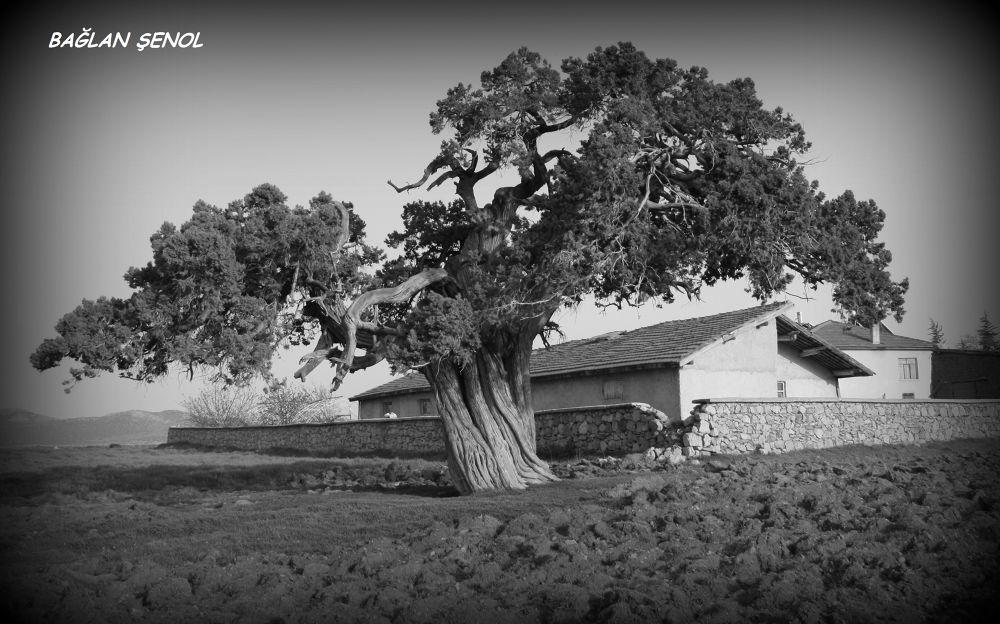 Old tree... by baglan senol