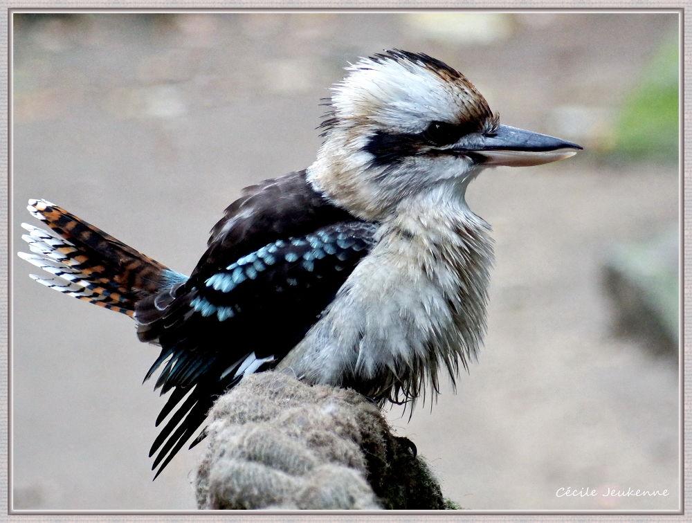 Kookaburra by cecilejeukenne