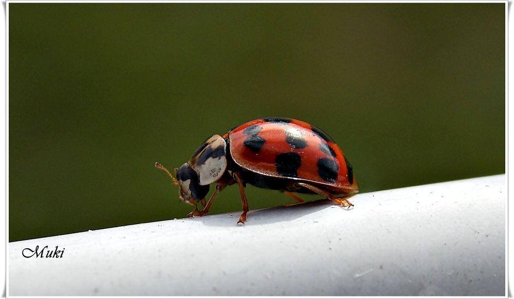Ladybug by mukikovacevic