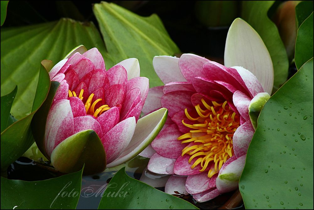 Lotus 2... by mukikovacevic
