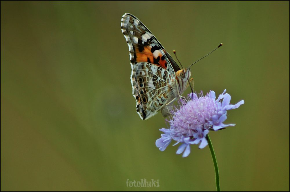 Butterfly and flower... by mukikovacevic